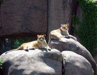 Two lionesses sunbathe on rocks in a zoo