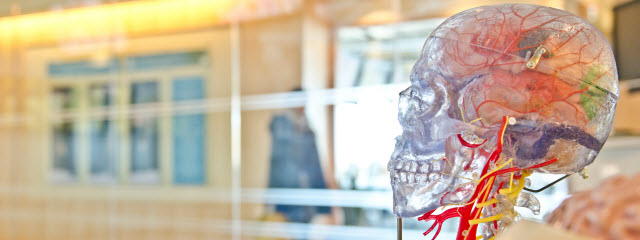 A translucent model of a human skull showing the brain inside on display in a hospital -Photo by jesse orrico on Unsplash