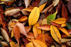 Daytime view of a pile of orange and yellow elm leaves on the ground